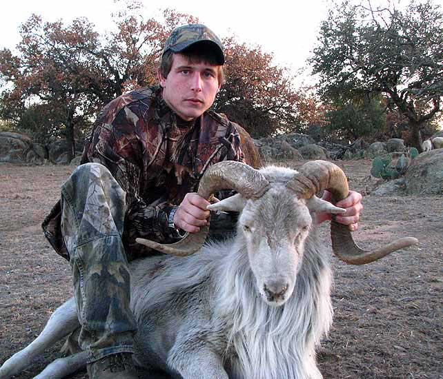 hunting trophy texas dall rams in the texas hill country