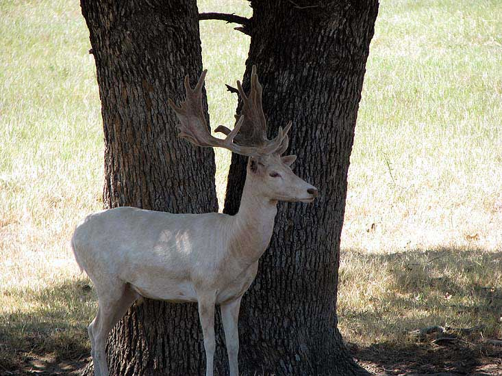 White Fallow buck under trees