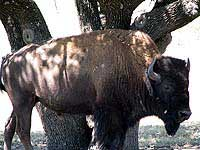 Big Buffalo at the Wildlife Ranch