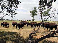 Buffalo Roaming on the Wildlife Ranch