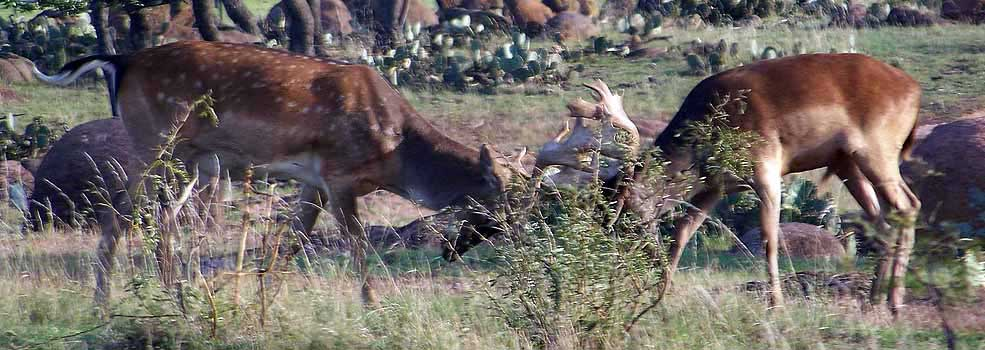 Fallow Deer sparring in the brush at The Wildlife Ranch