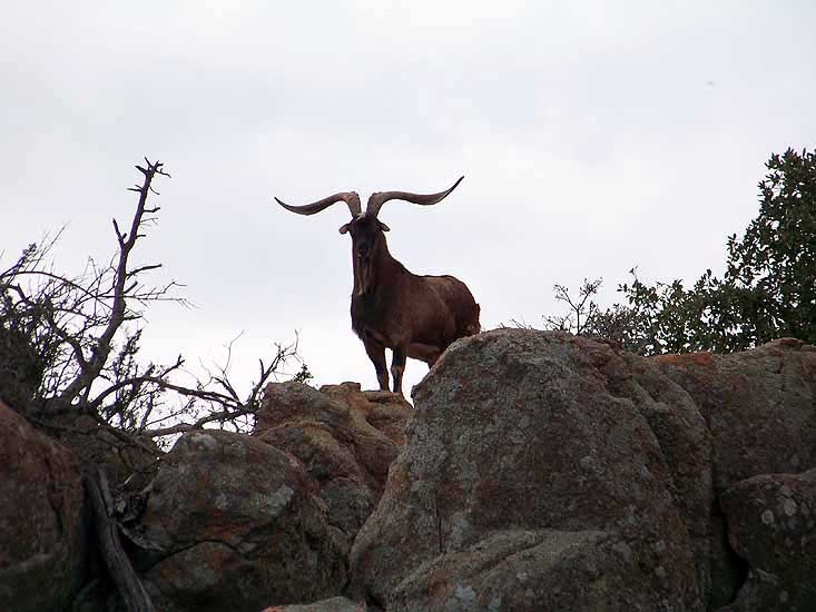 Trophy Spanish Goat standing on some granite rocks in the texas hill country