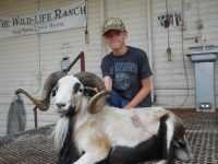 Beautiful exotic painted desert ram...call for pricing