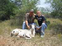 Trophy painted desert ram in the hill country